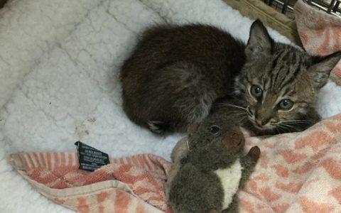 highway rescue kitten surprise bobcat