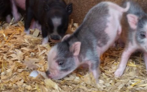 miracle the mini pig
