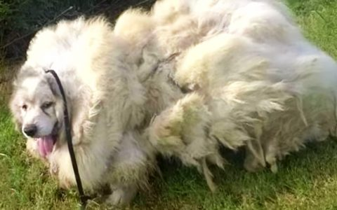 rescue dog loses 35 pounds of fur