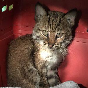 kitten rescue surprise - bobcat spirit feather