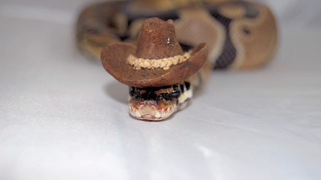 snake-cowboy _ Animals Who Are Way Better At Halloween Than You Are _ everything inspirational