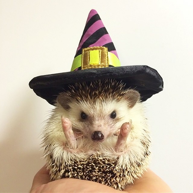 witch hedgehog _ Animals Who Are Way Better At Halloween Than You Are _ everything inspirational