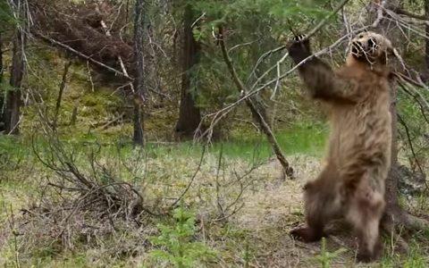 bears dance jungle boogie