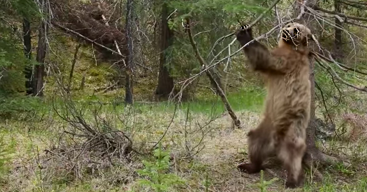 bears dance jungle boogie