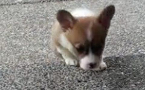 corgi puppy climbs stairs