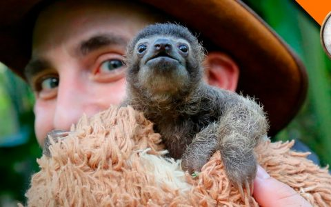 cutest baby sloth b-rad