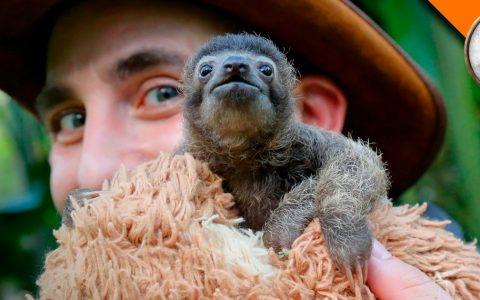 cutest baby sloth b-rad