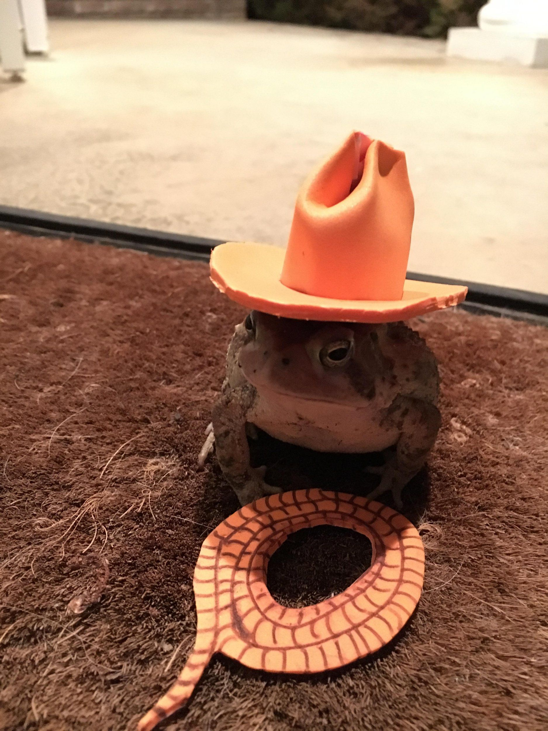 Man Made Amazing Tiny Toad Hats for Frequent Visitor _ cowboy _ all created