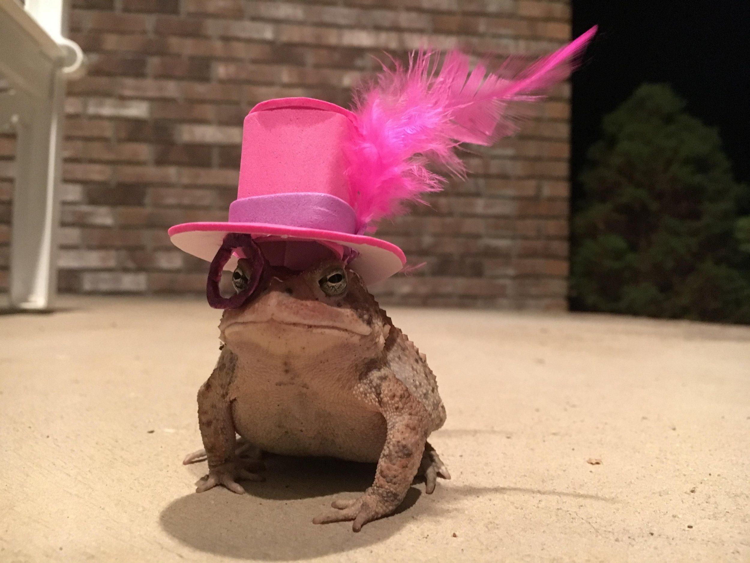 Man Made Amazing Tiny Toad Hats for Frequent Visitor _ Feather Monocle Hat _ all created