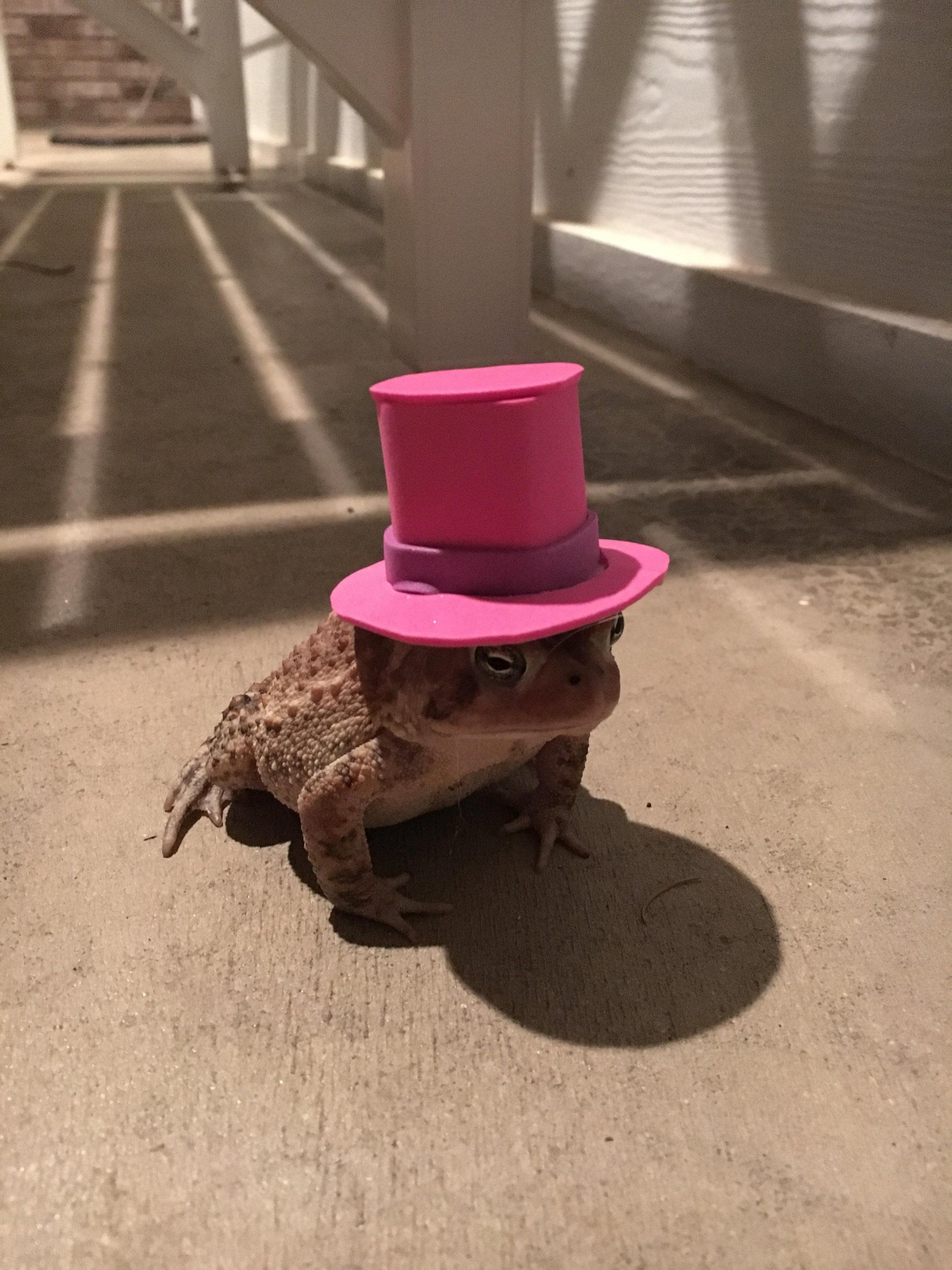 Man Made Tiny Hats for Frequent Toad Visitor _ Pink Top Hat _ all created