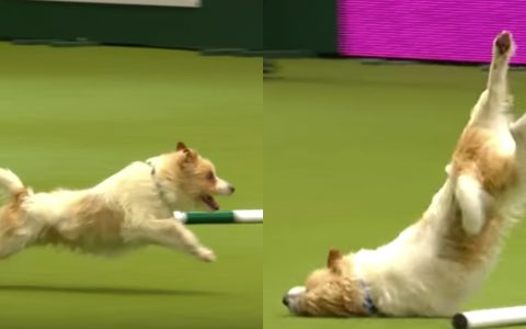 funny dog gets excited at dog show