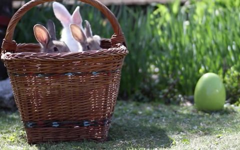 Adorable Fluffy Bunnies Peeked Out of A Basketful of Fun _ everything inspirational