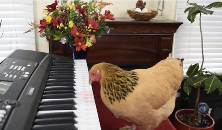 chicken plays the piano