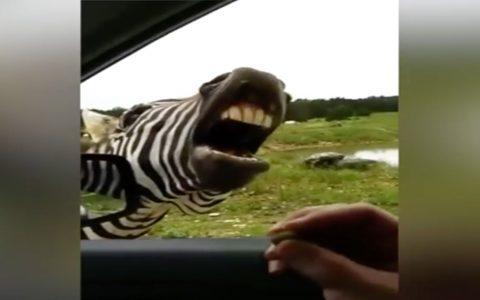 singing zebra