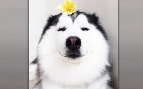 This Adorable Happy Husky Thinks He's A Panda _ everything inspirational