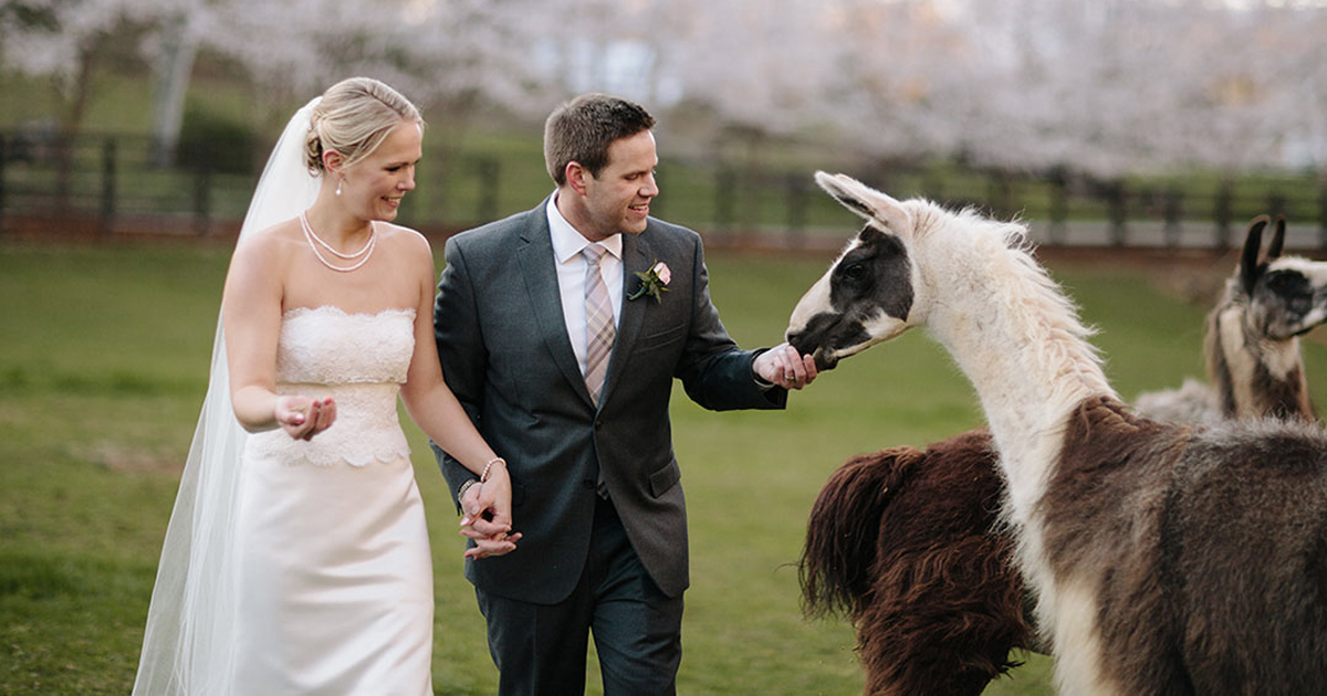 Weddings Can Be Stressful But Don't Worry These Dapper Llamas Are The Perfect Fix _ everything inspirational