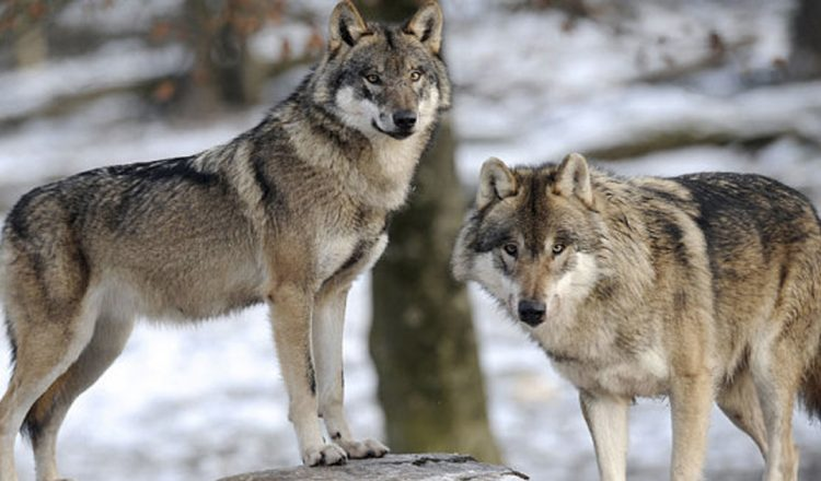 14 Wolves Went Into A Park, Then A Miracle Came Out _ everything inspirational