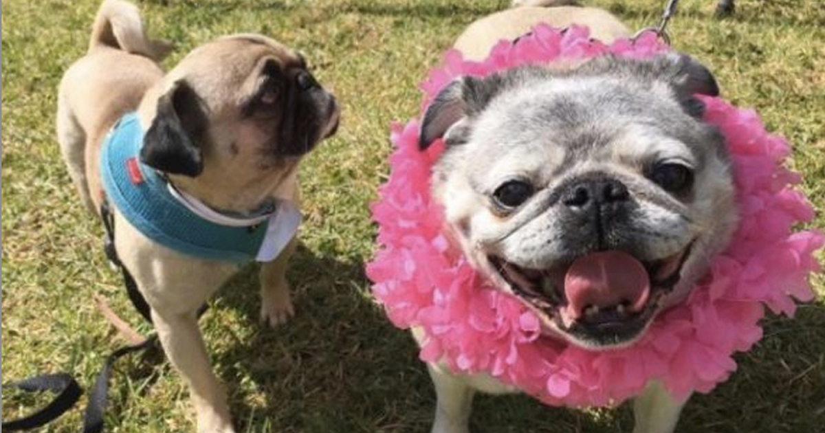 Girl Gives Birthday Surprise Of 100 Pugs To Brother With Autism _ everything inspirational