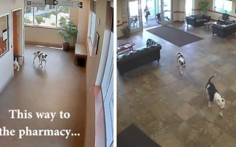 doggy duo wander into hospital _ everything inspirational