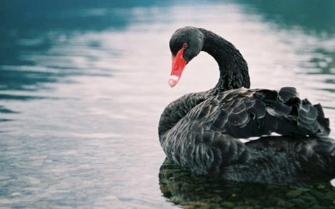 Dating Ad Placed For Widowed Black Swan, Now He Has A New Mate _ everything inspirational